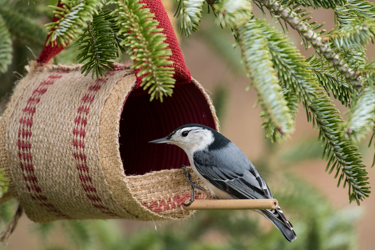11-26-16 White-breasted Nuthatch - Christmas Wildlife Tree-54