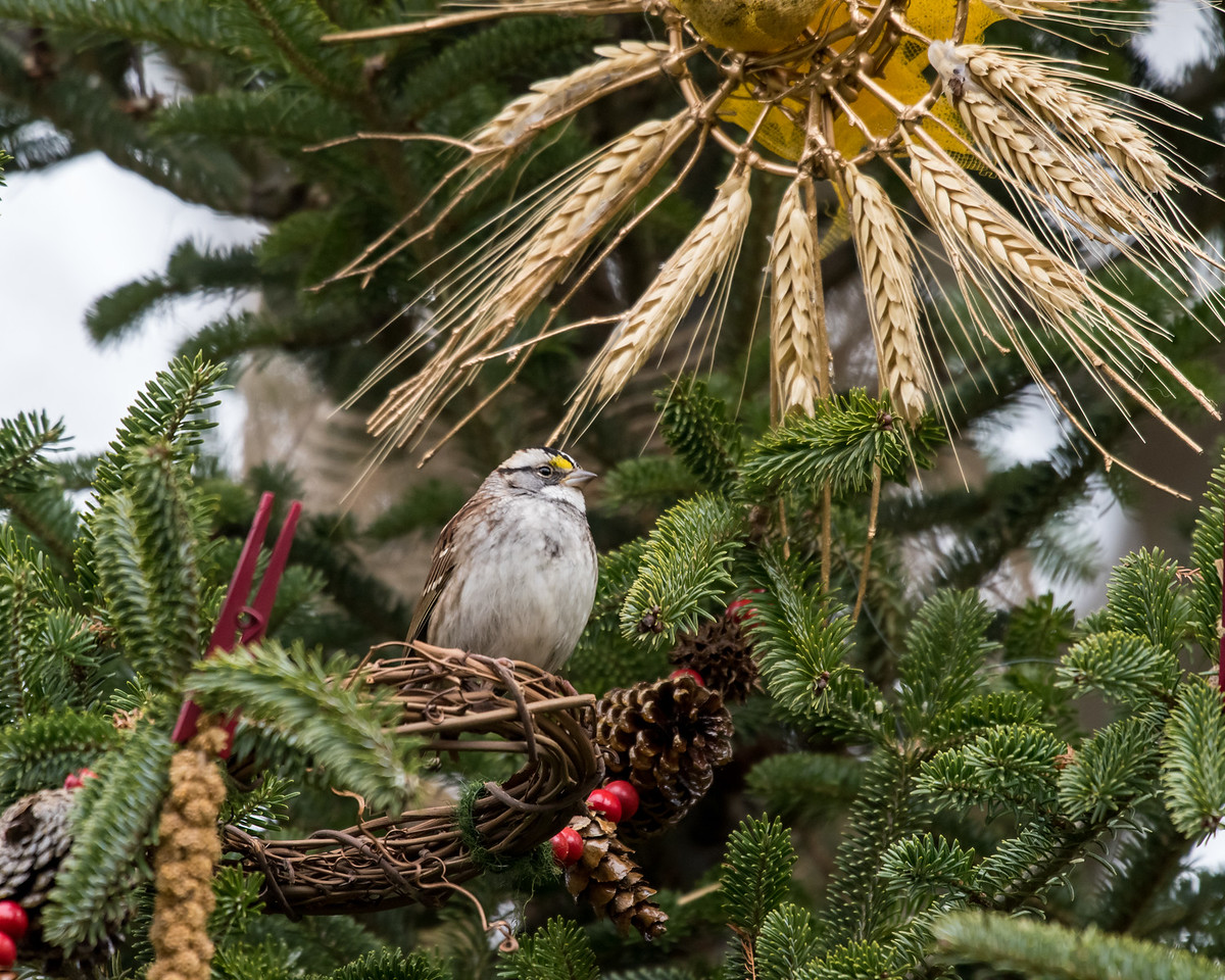 11-26-16 White-throated Sparrow - Christmas Wildlife Tree-67