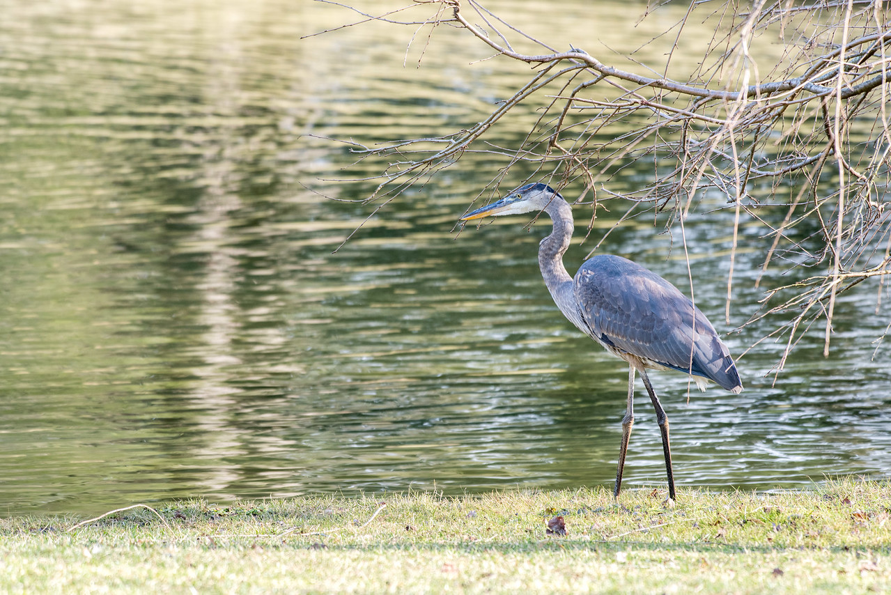 2-8-17 Great Blue Heron - Small Lake-31