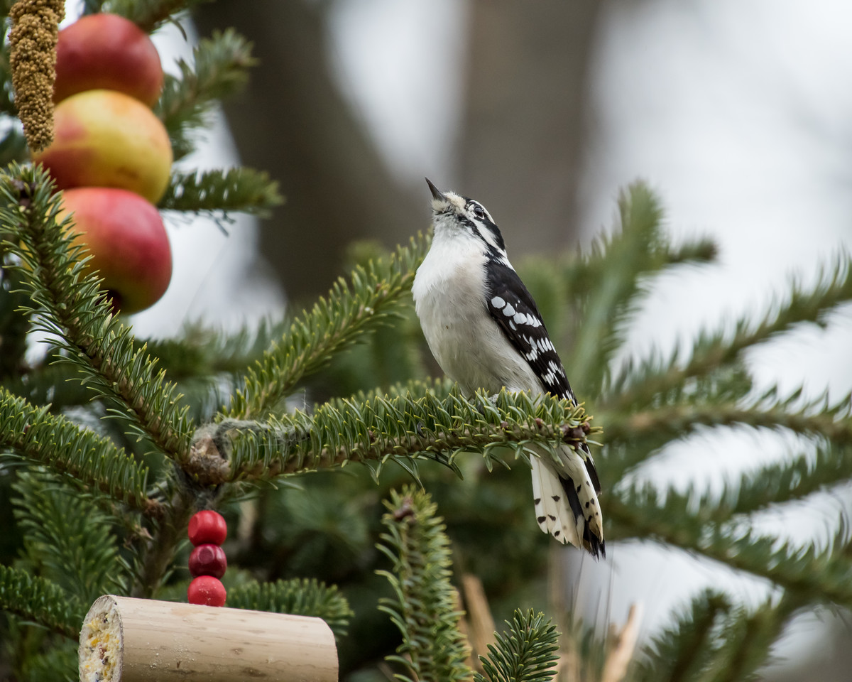 11-26-16 Downy Woodpecker - Christmas Wildlife Tree-70
