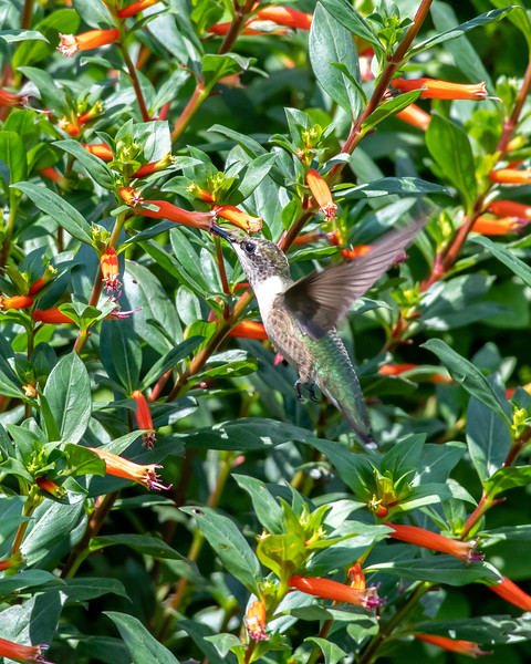 8-9-18 Ruby-throated Hummingbird - Cuphea 'David Verity' - Longwood-7616