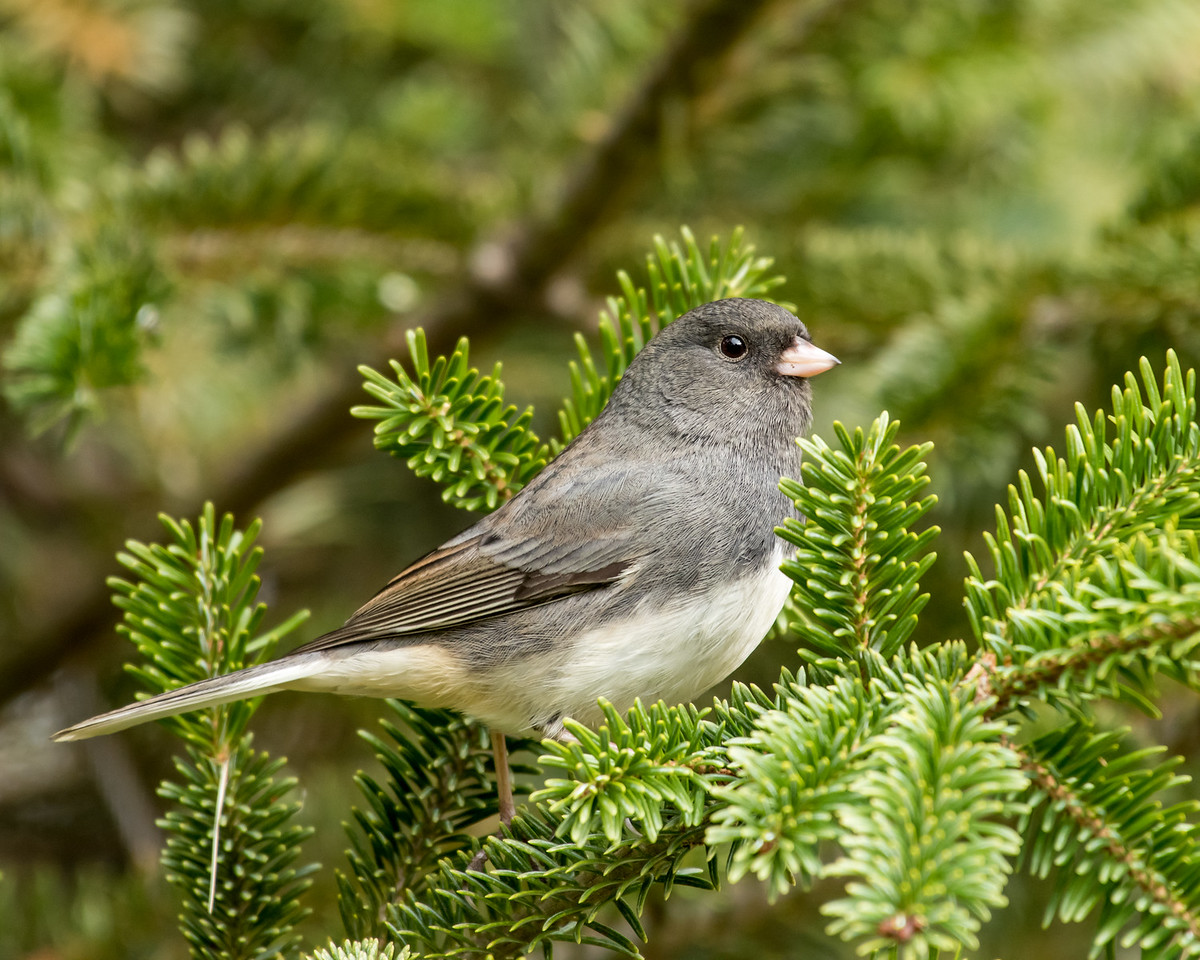 11-26-16 Dark-eyed Junco - Christmas Wildlife Tree-129