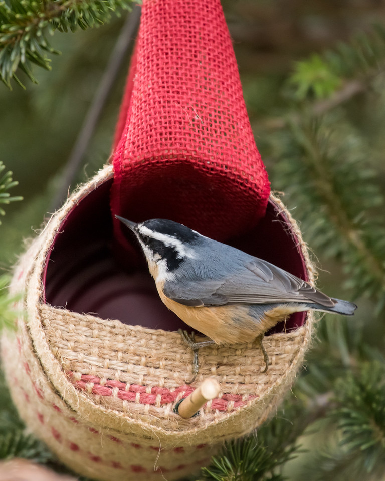 11-26-16 Red-breasted Nuthatch - Christmas Wildlife Tree-96