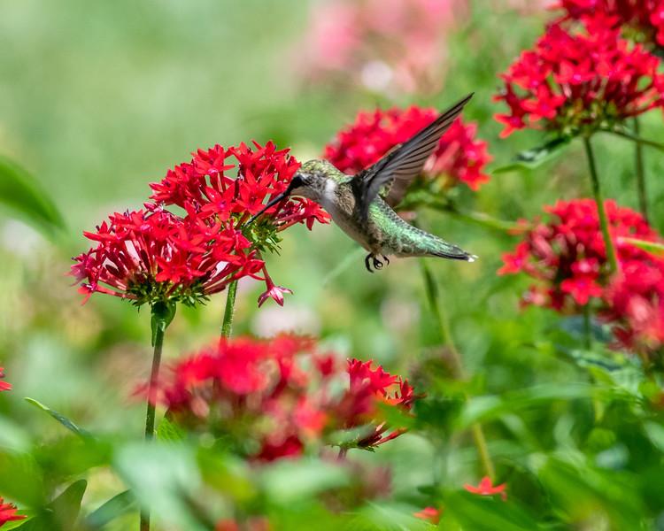 8-9-18 Ruby-throated Hummingbird - Unknown Pentas - Longwood-7591