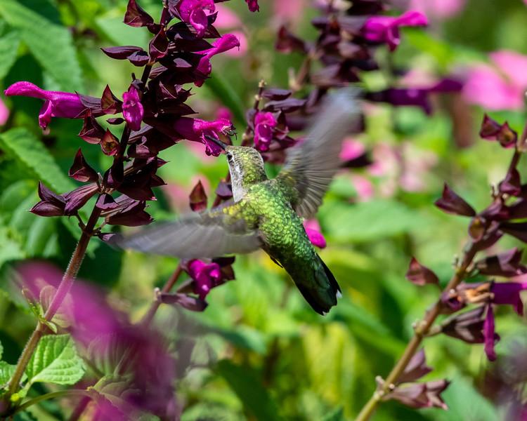 8-9-18 Ruby-throated Hummingbird - Salvia 'Rockin' Fuchsia' - Longwood-7623 - Copy