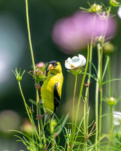 8-9-18 American Goldfinch - Cosmos - Longwood-7555