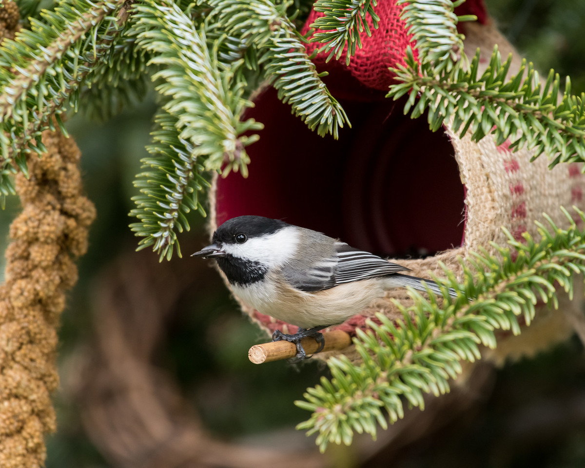 11-26-16 Carolina Chickadee - Christmas Wildlife Tree-58