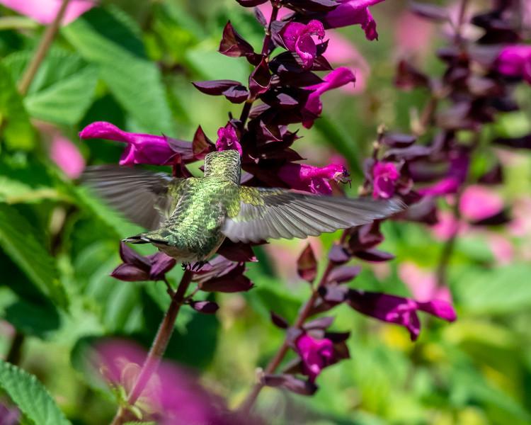 8-9-18 Ruby-throated Hummingbird - Salvia 'Rockin' Fuchsia' - Longwood-7625 - Copy
