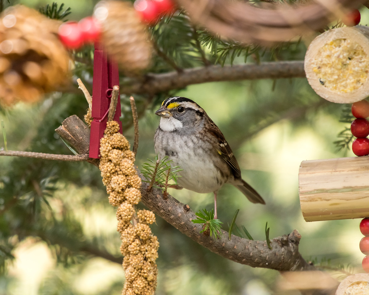 11-26-16 White-throated Sparrow - Christmas Wildlife Tree-107