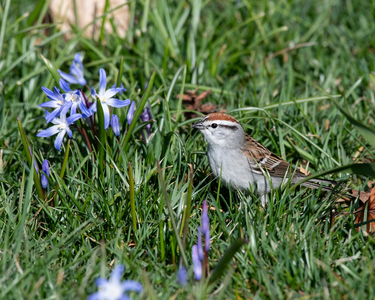 4-5-18 Chipping Sparrow-1187