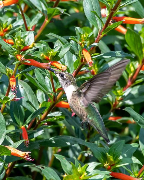 8-9-18 Ruby-throated Hummingbird - Cuphea 'David Verity' - Longwood-7617