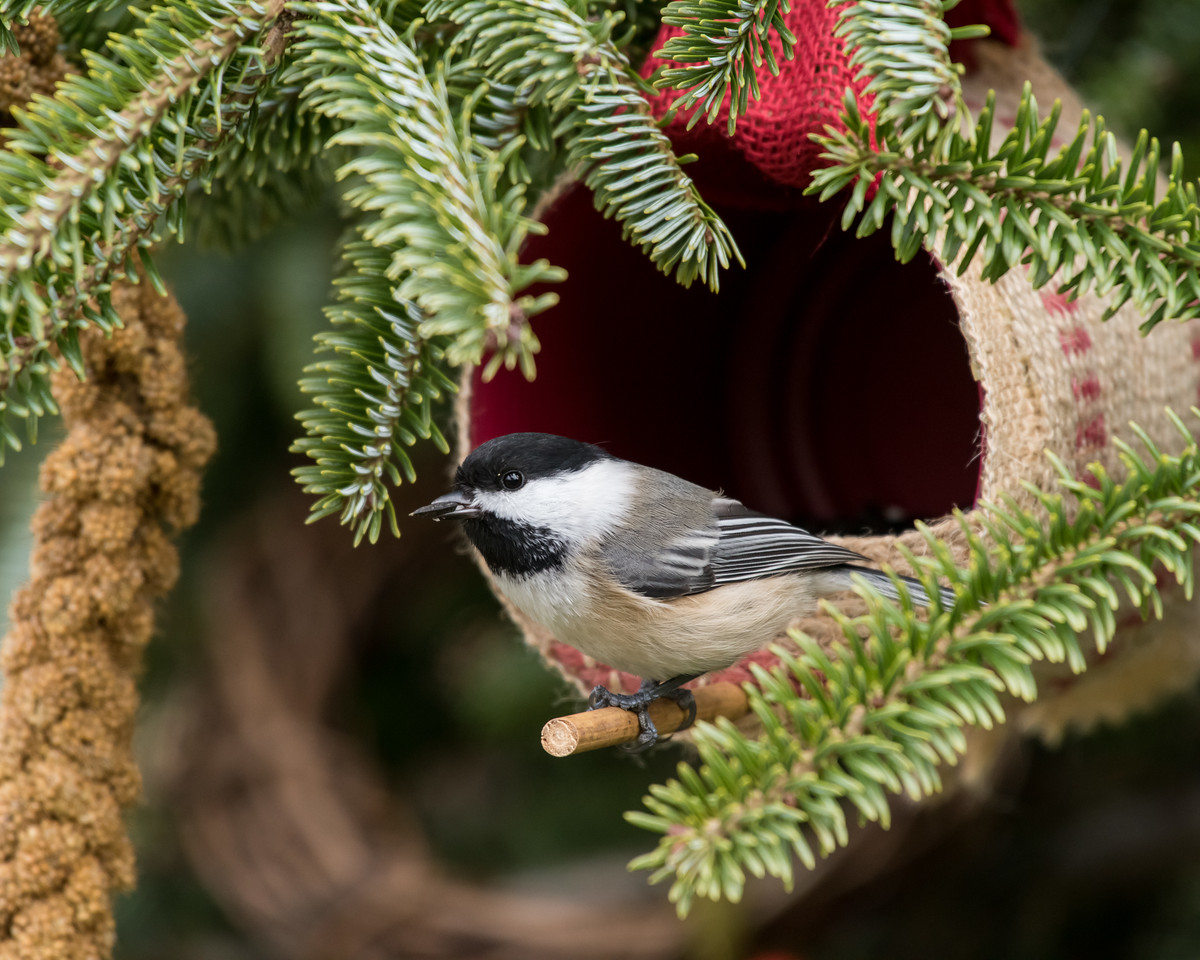 11-26-16 Carolina Chickadee - Christmas Wildlife Tree-59