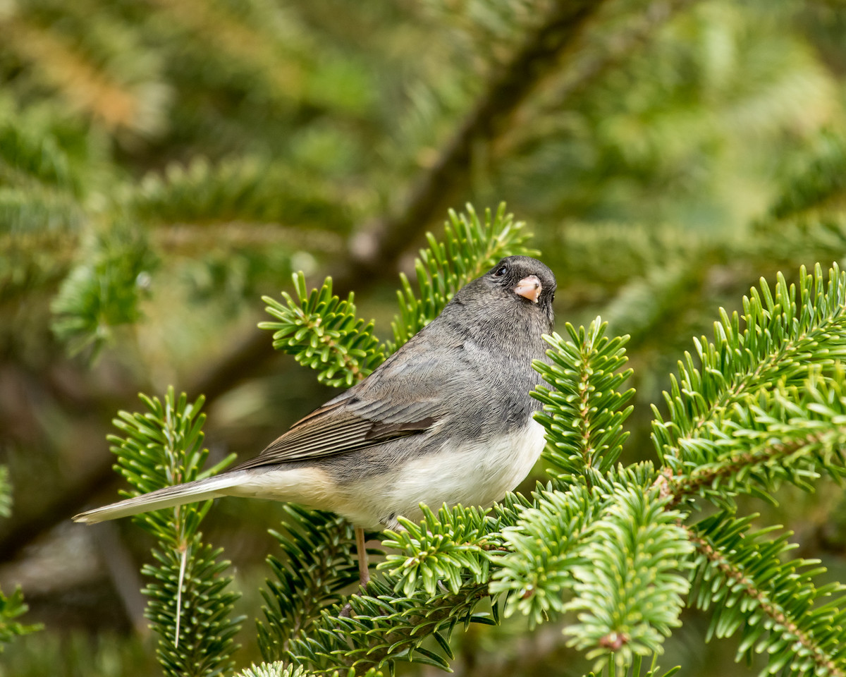 11-26-16 Dark-eyed Junco - Christmas Wildlife Tree-128