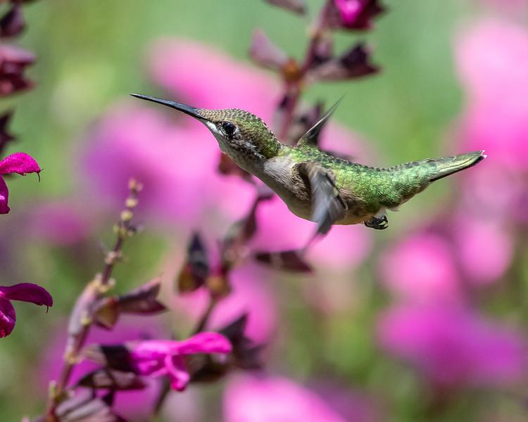 8-9-18 Ruby-throated Hummingbird - Salvia 'Rockin' Fuchsia' - Longwood-7631 - Copy