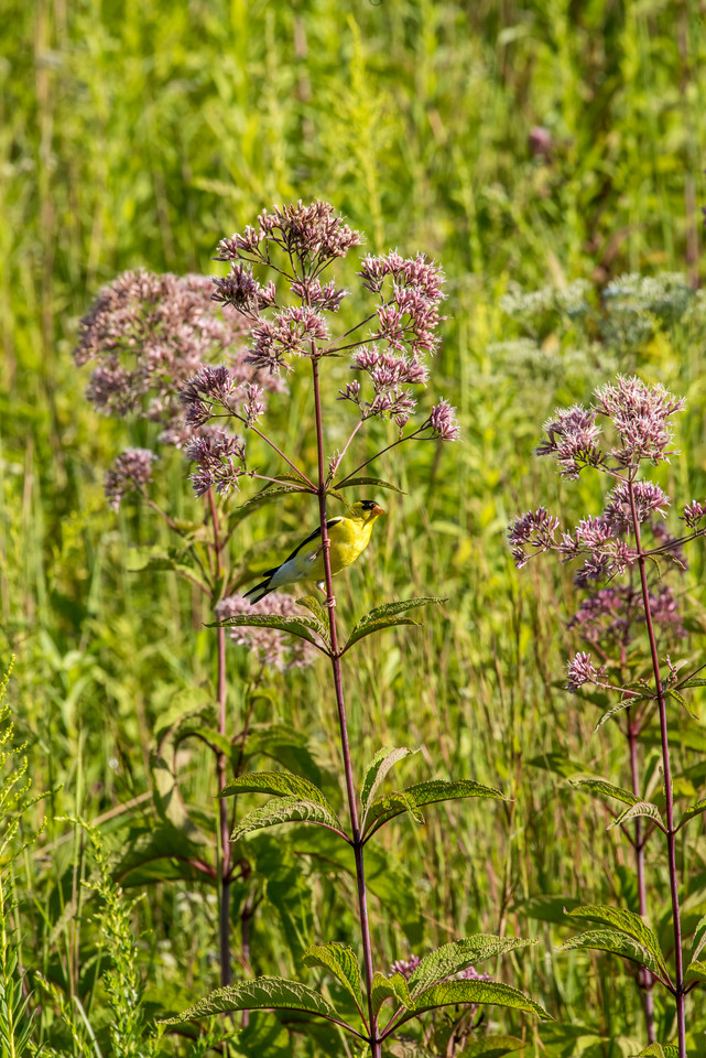8-19-16 American Goldfinch and Joe Pye Weed - Meadow-4024