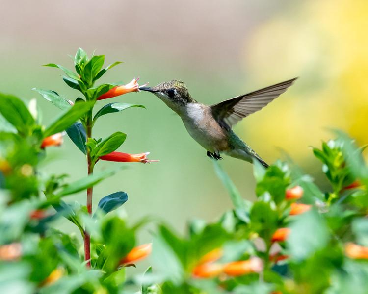 8-9-18 Ruby-throated Hummingbird - Cuphea 'David Verity' - Longwood-7575