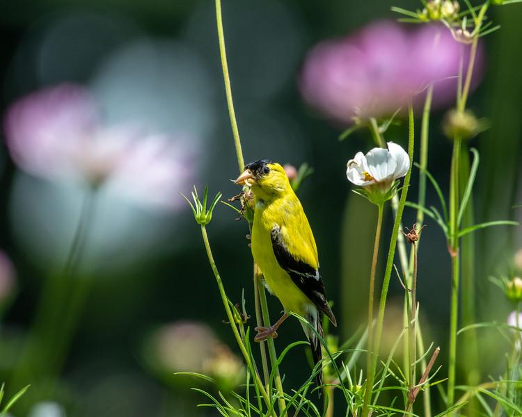 8-9-18 American Goldfinch - Cosmos - Longwood-7552