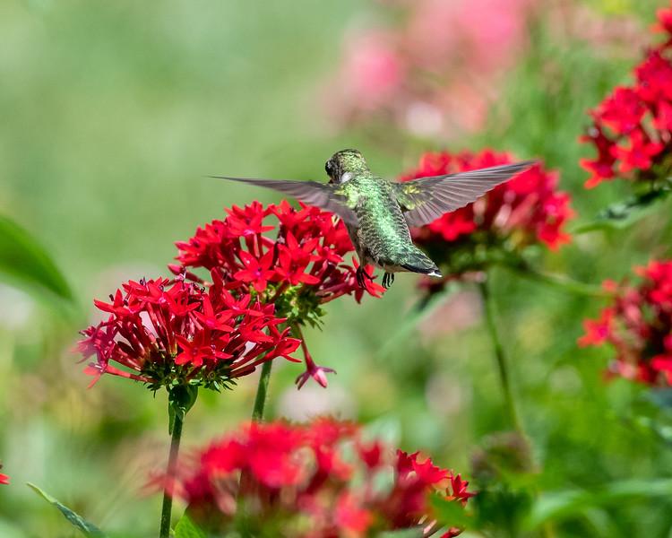 8-9-18 Ruby-throated Hummingbird - Unknown Pentas - Longwood-7599