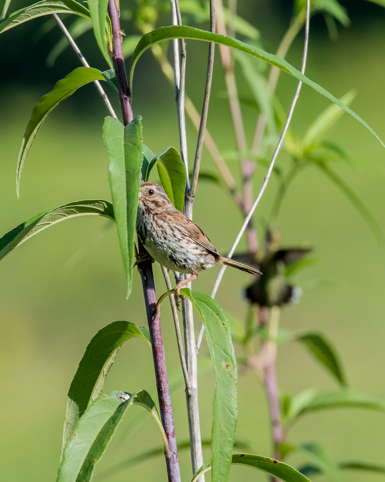 8-19-16 Song Sparrow with Ruby-throated Hummingbird - Male - Meadow-4003