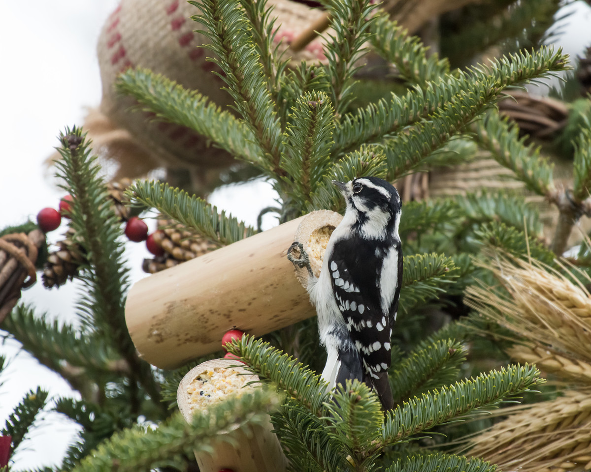 11-26-16 Downy Woodpecker - Christmas Wildlife Tree-79