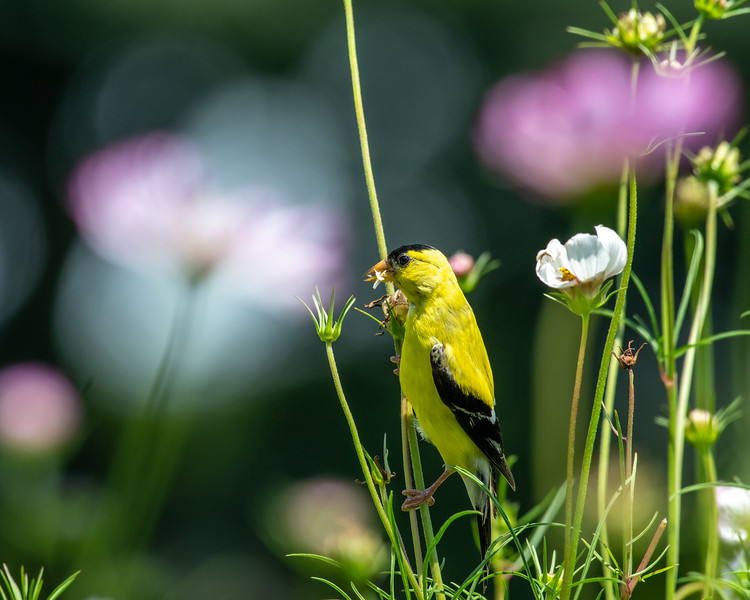 8-9-18 American Goldfinch - Cosmos - Longwood-7553