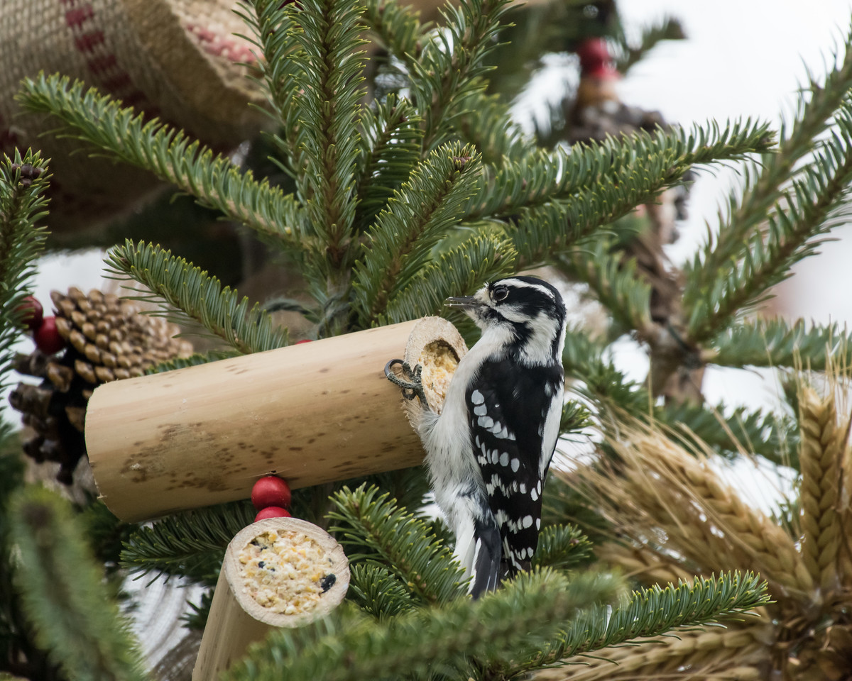 11-26-16 Downy Woodpecker - Christmas Wildlife Tree-83