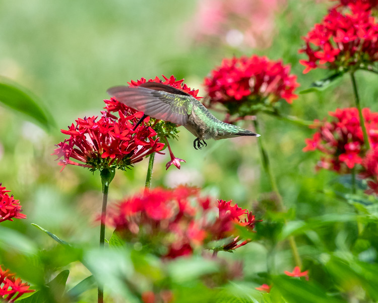 8-9-18 Ruby-throated Hummingbird - Unknown Pentas - Longwood-7589