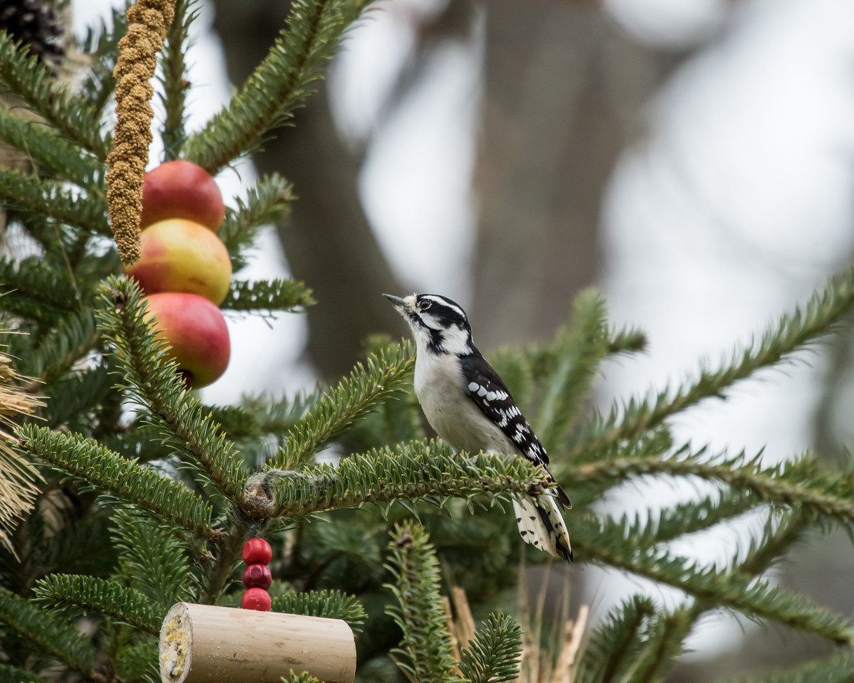 11-26-16 Downy Woodpecker - Christmas Wildlife Tree-73