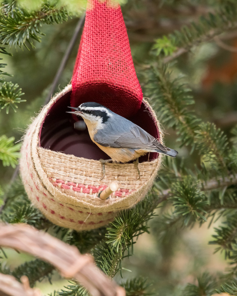 11-26-16 Red-breasted Nuthatch - Christmas Wildlife Tree-102