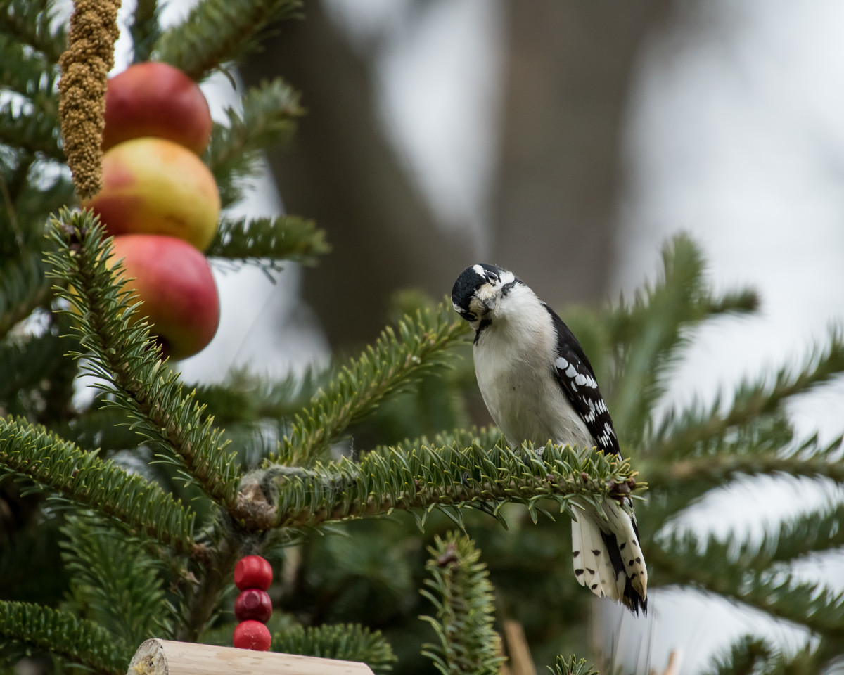 11-26-16 Downy Woodpecker - Christmas Wildlife Tree-72