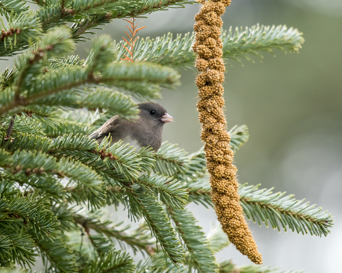 11-26-16 Dark-eyed Junco - Christmas Wildlife Tree-115