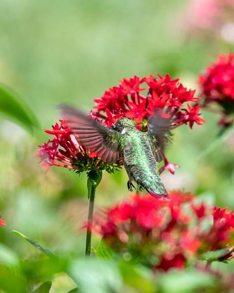 8-9-18 Ruby-throated Hummingbird - Unknown Pentas - Longwood-7597
