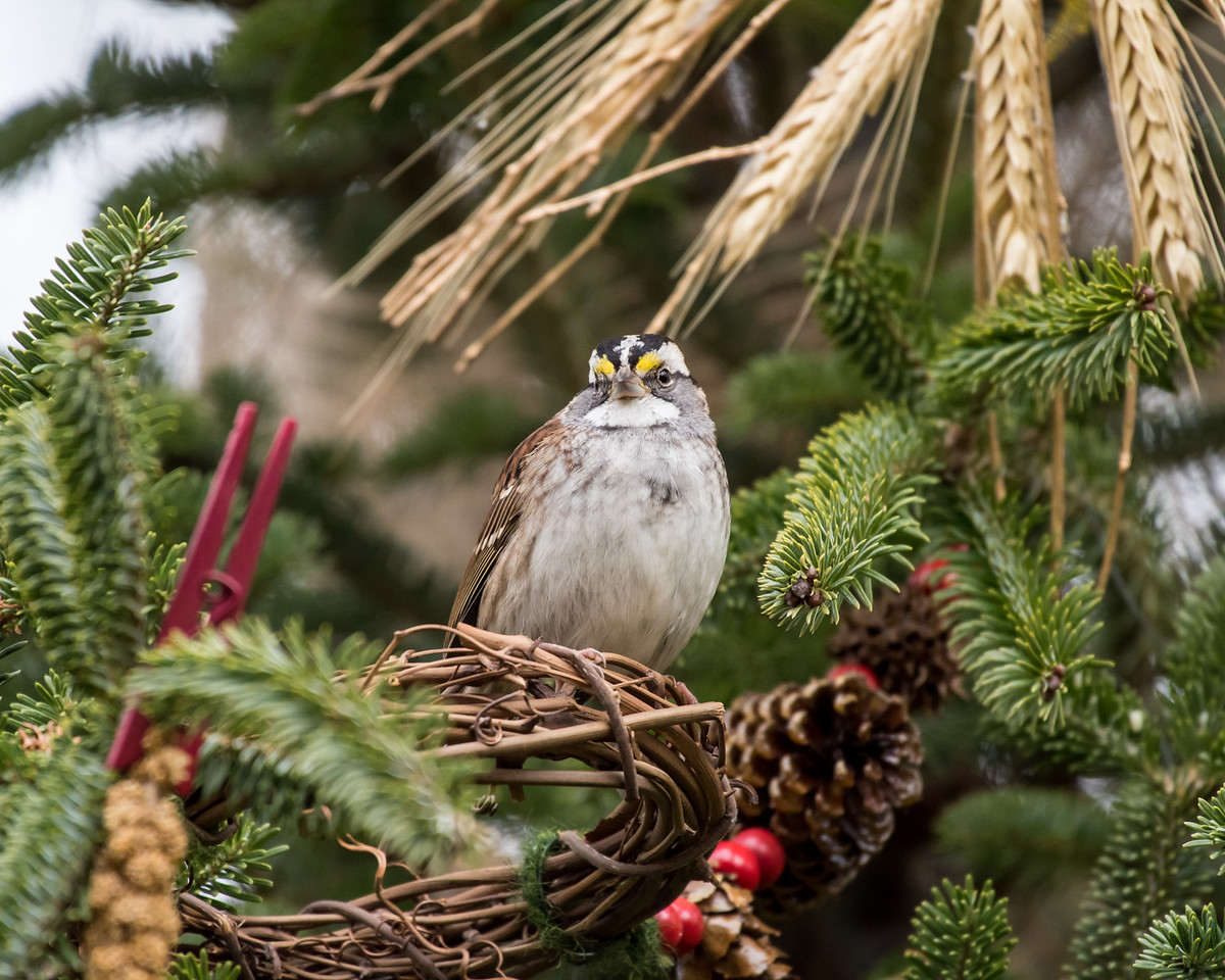 11-26-16 White-throated Sparrow - Christmas Wildlife Tree-61