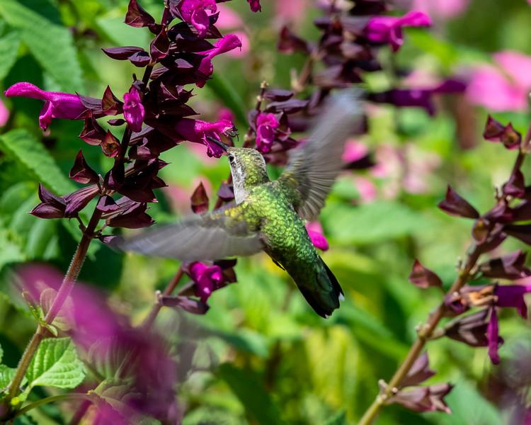 8-9-18 Ruby-throated Hummingbird - Salvia 'Rockin' Fuchsia' - Longwood-7623