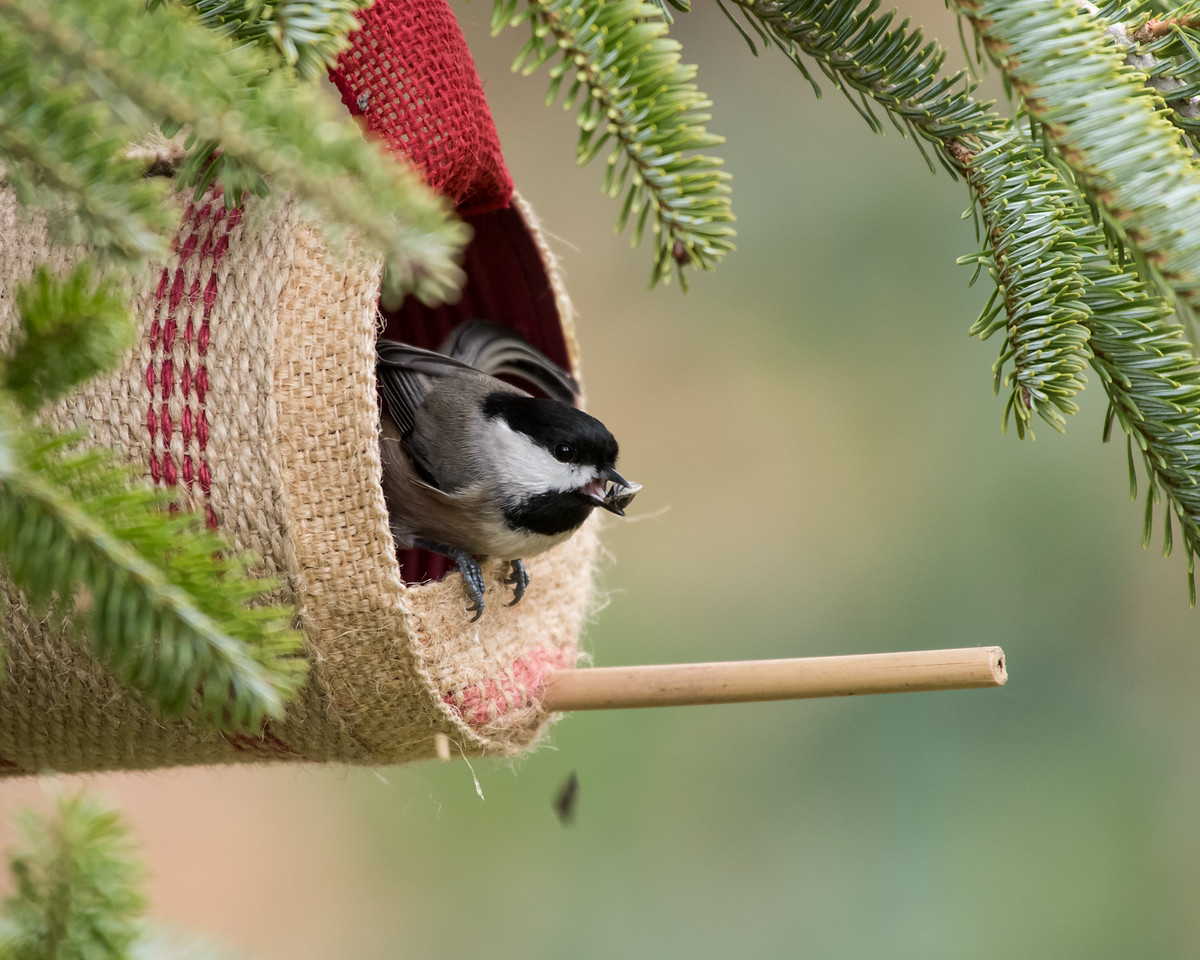 11-26-16 Carolina Chickadee - Christmas Wildlife Tree-43