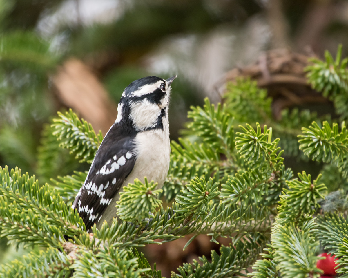 11-26-16 Downy Woodpecker - Christmas Wildlife Tree-37