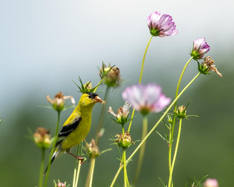 8-9-18 American Goldfinch - Cosmos - Longwood-7544