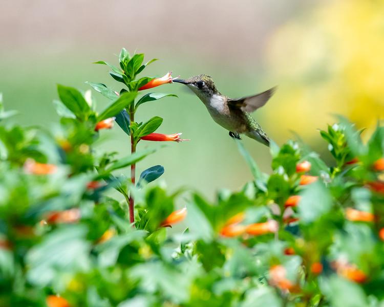 8-9-18 Ruby-throated Hummingbird - Cuphea 'David Verity' - Longwood-7573
