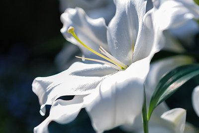 longwood lg white lilly flower (1 of 1)