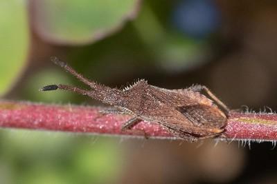 Coriomeris denticulata