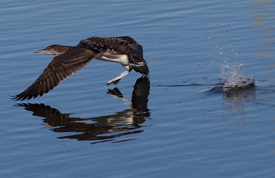 Common Loon  San Luis Rey Oceanside 2013 01 16 (4 of 4).CR2