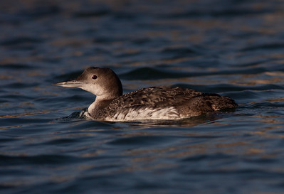 Common Loon  Oceanside 2010 02 13-1.CR2