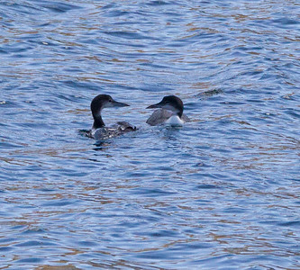 Common Loon Grant Lake 2017 09 20-3.CR2