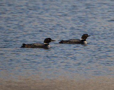 Common Loon Crowley Lake 2019 01 02-1.CR2
