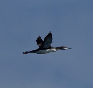 Pacific Loon San Diego Waters 2014 11 19-4.CR2