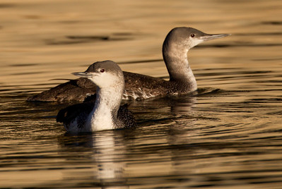 Red-throated Loon Dana Point 2014 01 10-1576.CR2