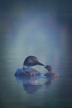 Loon and Chick (156)