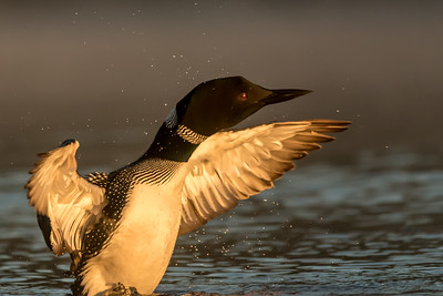 Loon at 1st Light