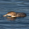 Common Loon - Young