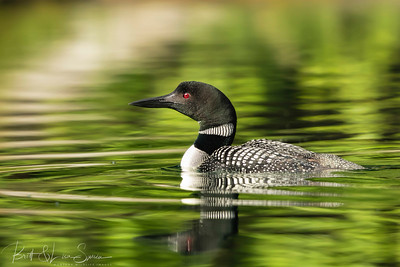 Common Loon on Green